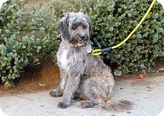 Havanese/Poodle (Miniature) Mix Dog for adoption in Los Angeles, California - Neptune