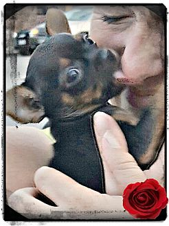 Chihuahua Puppy for adoption in Los Angeles, California - Dot