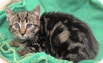 Domestic Shorthair Kitten for adoption in Lebanon, Pennsylvania - Joy