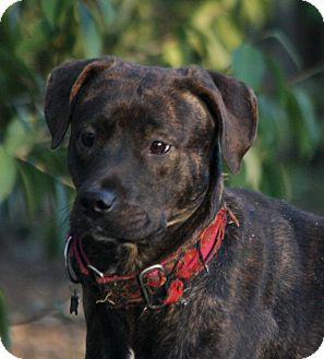 Labrador Retriever Mix Puppy for adoption in Southbury, Connecticut - Serene