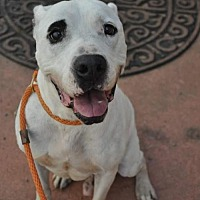 American Staffordshire Terrier/Boxer Mix Dog for adoption in Graniteville, South Carolina - Petey