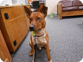 Terrier (Unknown Type, Medium)/Basenji Mix Dog for adoption in Midway, Arkansas - Bob Barker
