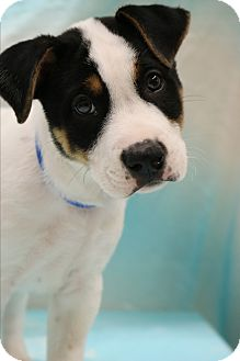 Australian Shepherd/Great Dane Mix Puppy for adoption in Hagerstown, Maryland - Ace