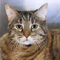 Domestic Shorthair/Domestic Shorthair Mix Cat for adoption in Mentor, Ohio - Taylor