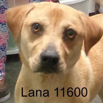 Labrador Retriever Mix Dog for adoption in Manassas, Virginia - Lana