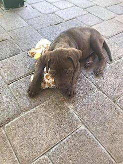 Labrador Retriever/Rottweiler Mix Puppy for adoption in BONITA, California - Demi