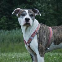 Adopt A Pet :: Mowgli - Westampton, NJ