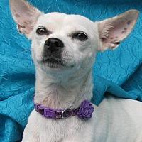 Adopt A Pet :: Babsies Gangi-Belle - Cuba, NY