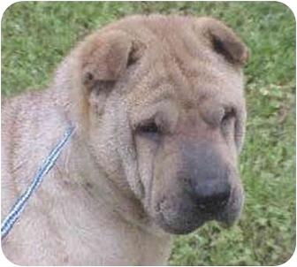 Shar Pei Dog for adoption in Houston, Texas - Sheeba