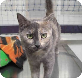 Calico Cat for adoption in Phoenix, Arizona - Chatilly