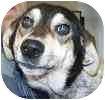 Sheltie, Shetland Sheepdog/Cattle Dog Mix Dog for adoption in Hamilton, Ontario - Ruby