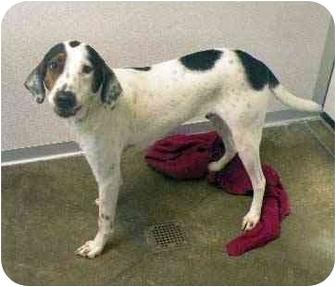 Bluetick Coonhound Dog for adoption in Fort Bragg, California - Bob