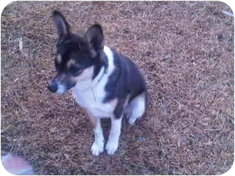 Collie/Terrier (Unknown Type, Small) Mix Dog for adoption in Haughton, Louisiana - Dutchie