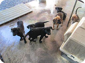 Boxer/Labrador Retriever Mix Puppy for adoption in Henderson, North Carolina - Boxer/Lab Puppies