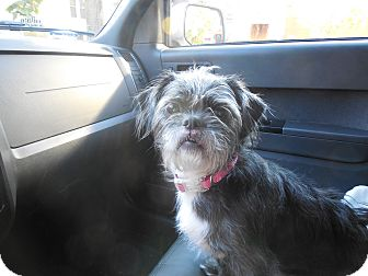 Shih Tzu/Terrier (Unknown Type, Small) Mix Dog for adoption in West Deptford, New Jersey - Honey