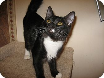 Domestic Longhair Cat for adoption in Fountain Hills, Arizona - MINDY