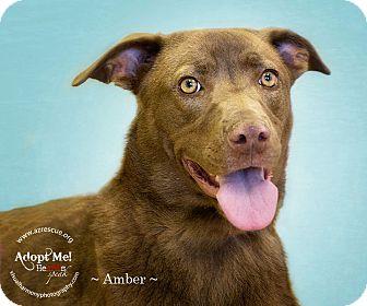 Labrador Retriever Mix Dog for adoption in Phoenix, Arizona - Amber