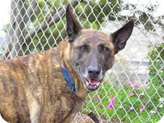 Dutch Shepherd Dog for adoption in Vista, California - Duke