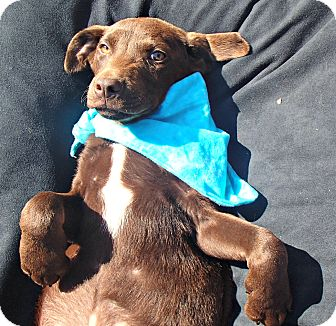Labrador Retriever Mix Puppy for adoption in Groton, Massachusetts - Juke