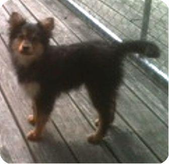 German Shepherd Dog/Sheltie, Shetland Sheepdog Mix Puppy for adoption in Oswego, Illinois - Teddy