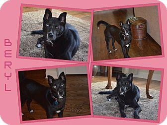 "Husky/Australian Kelpie Mix Dog for adoption in Dallas, North Carolina - BERYL ""BEAR"""