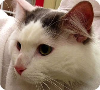 Domestic Longhair Cat for adoption in Green Bay, Wisconsin - Babar