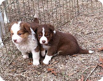 Australian Shepherd Puppy for adoption in Columbia, South Carolina - Heather