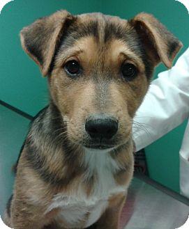 Labrador Retriever/Husky Mix Puppy for adoption in Glastonbury, Connecticut - DEMPSEY