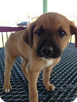 Australian Shepherd/Boxer Mix Puppy for adoption in Westminster, Colorado - Jade