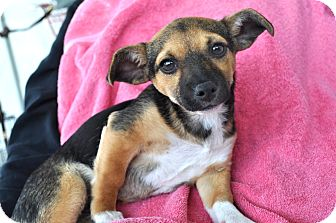 Chihuahua/Dachshund Mix Puppy for adoption in Los Angeles, California - Leah