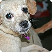 Adopt A Pet :: Daffy - Westfield, IN
