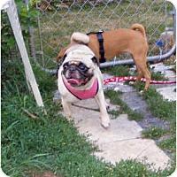 Adopt A Pet :: MOMA (AKC DASHON) - Warren, NJ