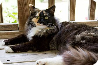 Domestic Longhair Cat for adoption in Chattanooga, Tennessee - Pumpkin