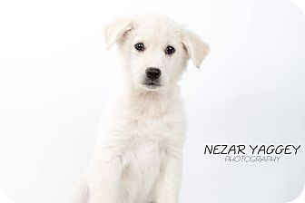 Labrador Retriever/Shepherd (Unknown Type) Mix Puppy for adoption in Edmonton, Alberta - Kindal