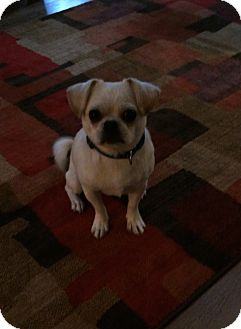 Pug Mix Dog for adoption in Fairview Heights, Illinois - Chuck