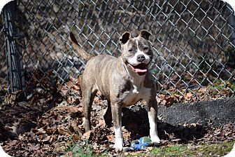 Pit Bull Terrier Mix Dog for adoption in Petersburg, Virginia - Rosy