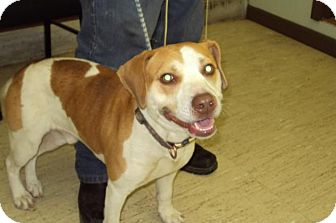 Labrador Retriever Mix Dog for adoption in Mt. Vernon, Illinois - Lucky