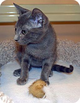 Russian Blue Kitten for adoption in Plano, Texas - KAZIA-FUN TO BE AROUND