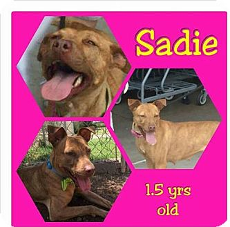 Pit Bull Terrier Mix Dog for adoption in Mesa, Arizona - Sadie