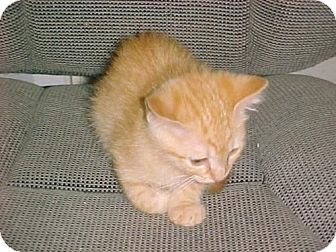 Domestic Mediumhair Kitten for adoption in Fayetteville, Georgia - Harrah