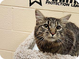 Maine Coon Cat for adoption in Smithfield, North Carolina - Max