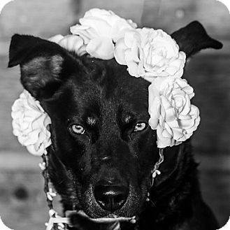 Australian Cattle Dog Mix Dog for adoption in Divide, Colorado - Ellie