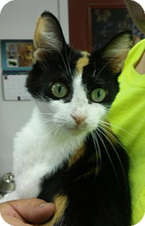 Domestic Shorthair Cat for adoption in Albion, New York - Rockie