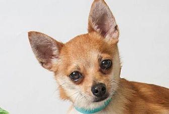 Pomeranian/Chihuahua Mix Dog for adoption in Colorado Springs, Colorado - Noah