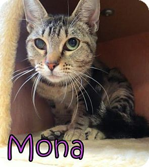 Domestic Shorthair Cat for adoption in Georgetown, South Carolina - Mona