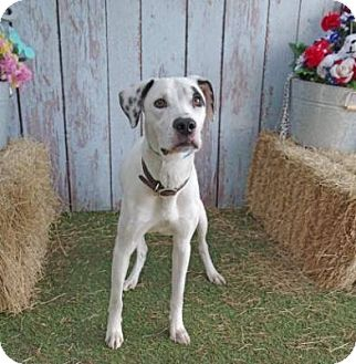 Dalmatian/Pointer Mix Dog for adoption in Tampa, Florida - Dante