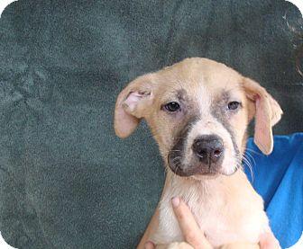 German Shepherd Dog/Boxer Mix Puppy for adoption in Oviedo, Florida - Cooper