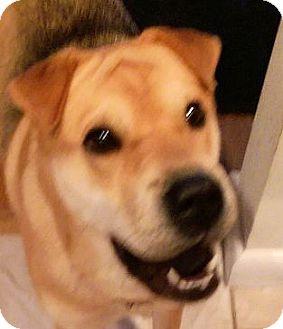 Shar Pei Mix Dog for adoption in Barnegat Light, New Jersey - Carmella