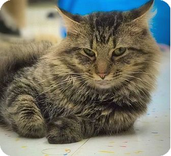 Maine Coon Cat for adoption in Hillside, Illinois - Gabriel-MAINE COON mix