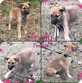 Labrador Retriever/Shepherd (Unknown Type) Mix Puppy for adoption in East Hartford, Connecticut - Trudy pending adoption